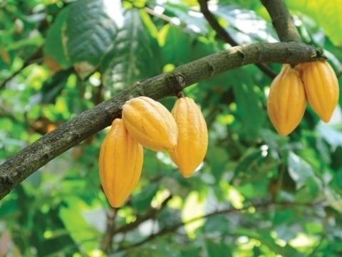 Un arbre portant des cacaos